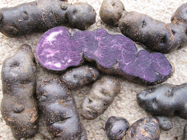 ... and some immature tubers or seed potatoes suitable for propagation